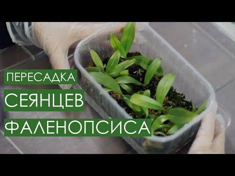 Рассаживаю сеянцы орхидеи фаленопсис. Пошаговая инструкция. Phalaenopsis Manii