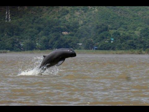Irrawaddy Dolphins Spotted at Iconic Chilika Lake (Puri) Orissa