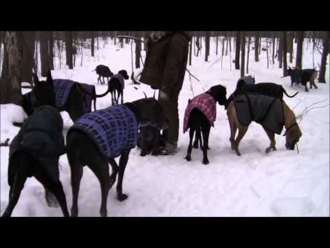 So this is Dantry Danes, its where I got my pup. Watch 35 Great Danes go for a winter walk! Especially check out after 3:58 for a roll call - it's really something