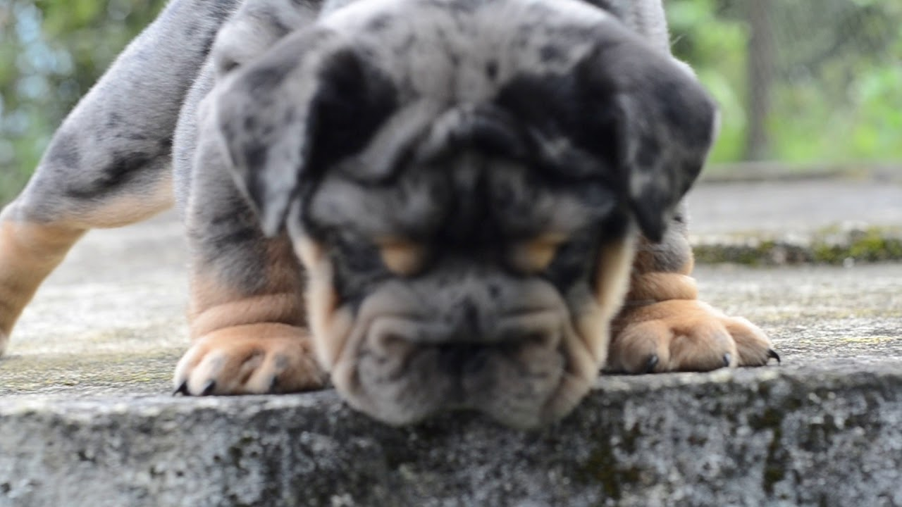English Bulldog Merle Black An Tan Top Quality Youtube