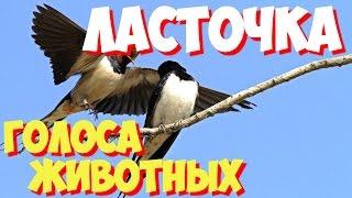 Голоса птиц и звуки животных. Звуки природы слушать онлайн ЛАСТОЧКА