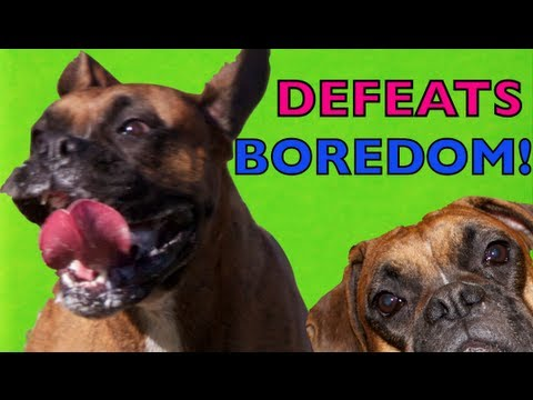 Brock the Boxer Dog: DEFEATS BOREDOM!!! - Youtube