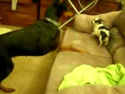 Doberman Playing With Chihuahua
