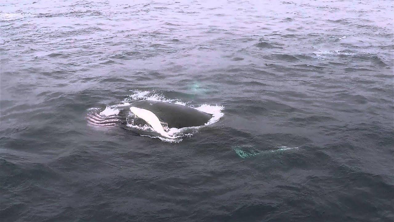 Humpback Whale NAMMCO