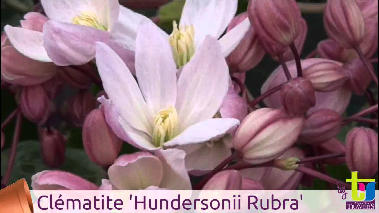 clematis armandii 39 hundersonii rubra 39 p pini res travers. Black Bedroom Furniture Sets. Home Design Ideas