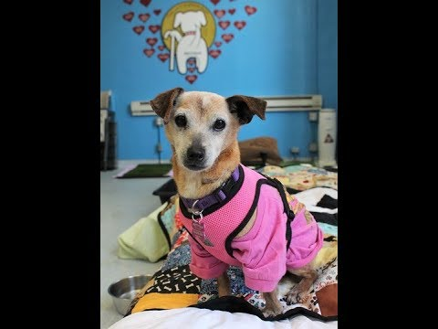 Kourtney, a female Fox Terrier at Muttville-adopted!