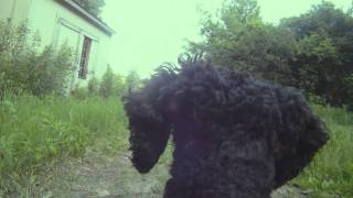 Poodle Cam Test