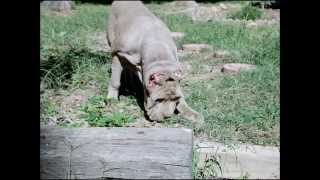 Neapolitan Mastiff Tawny Lion Cub