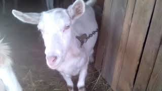 Запуск коз. Кормушка для коз.