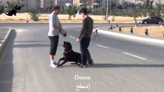 Aleef Express  Amman Dog Training, Dog Protection And Basic Obedience In Jordan   Youtube 2
