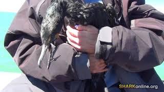 Cruel, Senseless Cormorant Slaughter on Lake Erie