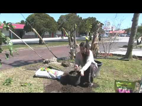 How to Grow Pear Trees