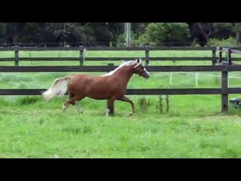 FOR SALE - Bellingara Starbright - Welsh Mountain Pony Filly