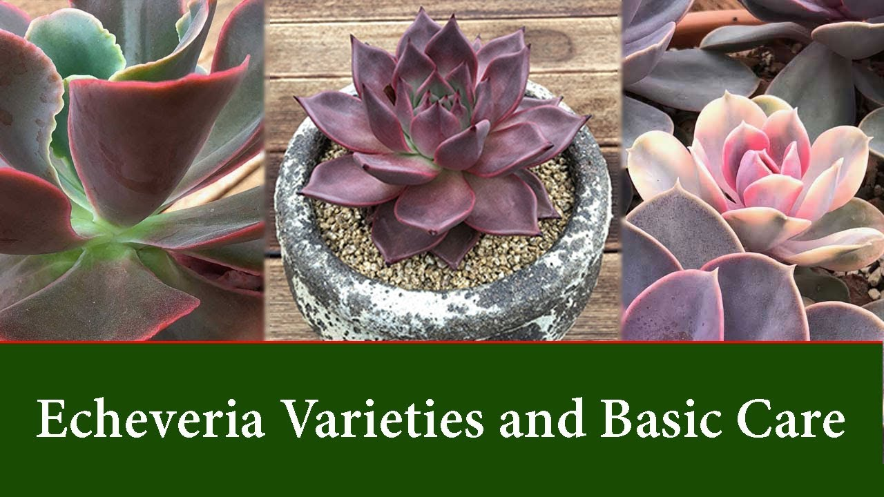 Echeveria Varieties Easy To Grow Succulents Care And Watering