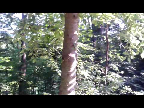 Ivory billed woodpecker call PA