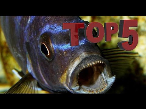 African Cichlids | My Top 5: Most Aggressive Mbuna