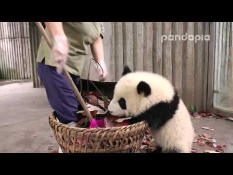 "Panda cub and nanny's ""war'"