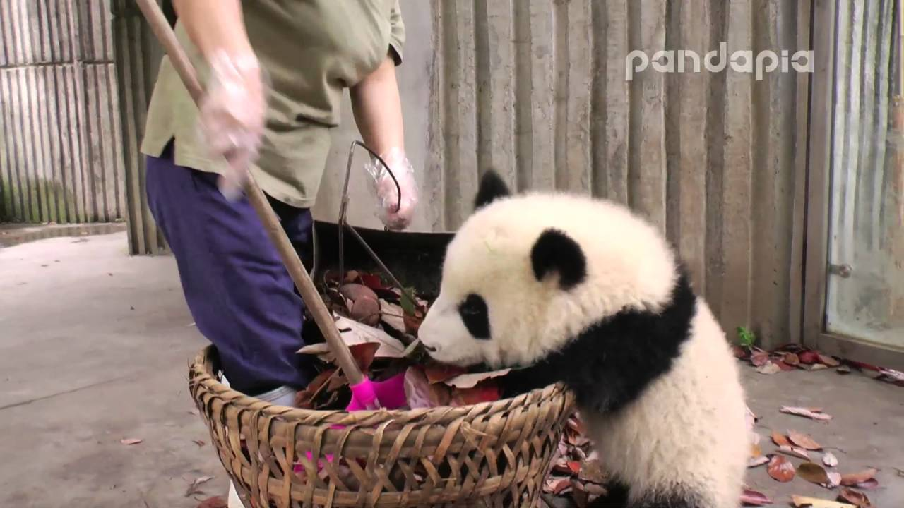 "Panda cub and nanny's ""war"""