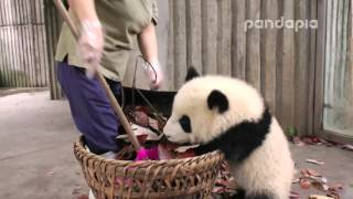 "Panda cub and nanny's ""war\"