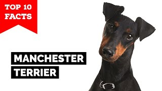 Manchester Terrier  Top 10 Facts