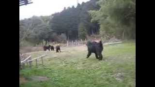 桜山犬舎で遊ぶベルバレーニューフィー。