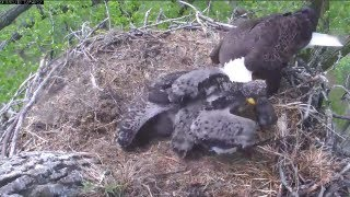 MNBound Eagles Peace Grabs Prey from Dad 5-18-13