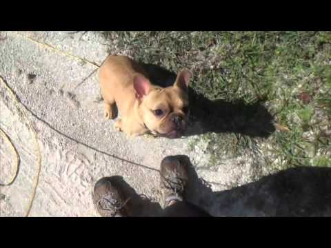 Training a French Bulldog to walk on a leash dog obedience training Florida