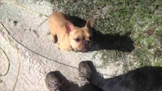 Training a French Bulldog to walk on a leash dog obedience training Florida