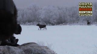 Охота на лося, 7 лосей вышли на номер!
