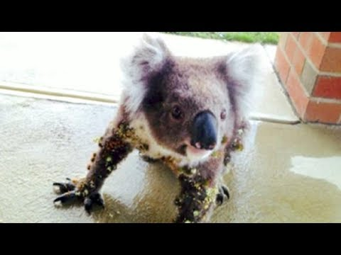 Man Who Spots A Wild Koala On His Porch Realizes Something Is Terribly Wrong