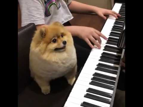 Shila The Pom Performs Her First Piano Concert