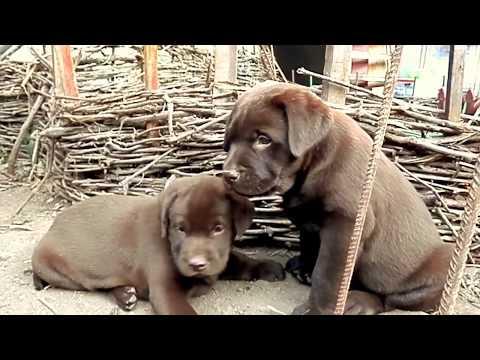 тема временная.............Продаются чистокровные щенки