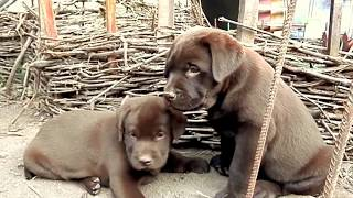 Лабрадор. ЭТО ВИДЕО ПОДАРИТ ВАМ РАДОСТЬ! THIS VIDEO will give you joy! Щенки лабрадора. Odessa.