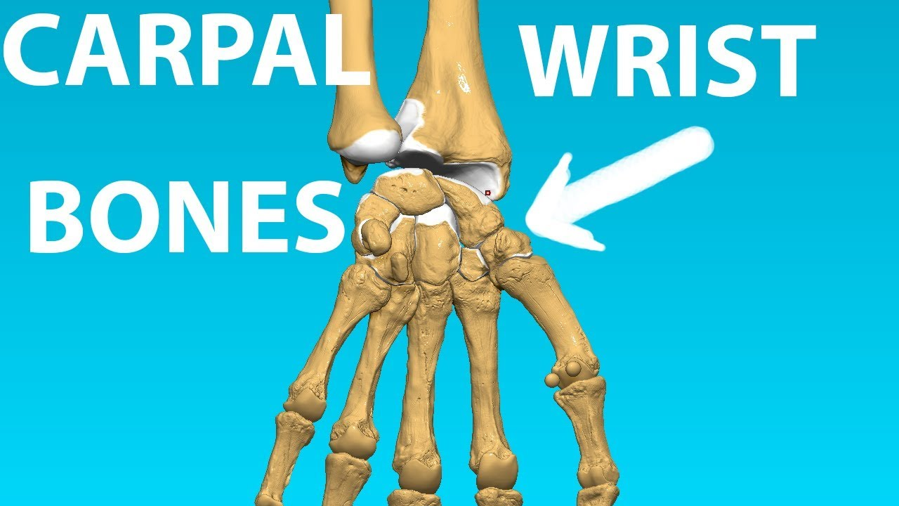 Carpal Bones Wrist Anatomy Bones 7 Youtube