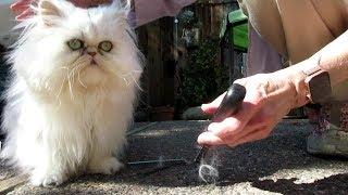 19 09 19 Grooming Persian Kitties in the Sun on the Run
