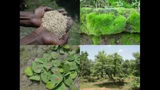Medicinal Rice B4 Formulations for Hallucination: Pankaj Oudhia