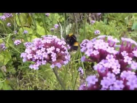 Verbena bonariensis - Purpletop vervain  - Járnurt - Hunangsfluga - Sumarblóm - Garðplöntur