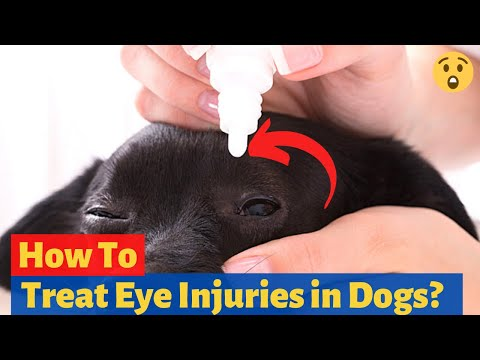 How To Treat Eye Injuries In Dogs? (Must Watch In Case Of Emergency)