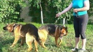 Йорий и Грета. Ждём щенков. Немецкие овчарки. German Shepherd.