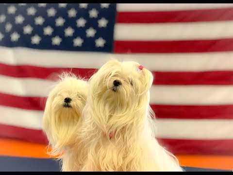 Small Pups Holding Position | ANY BREED | Best Maltese Dog Trainers in Georgia