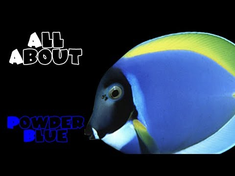 All About The Powder Blue Tang