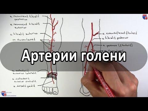 Артерии голени (большеберцовые артерии и их ветви) - meduniver.com