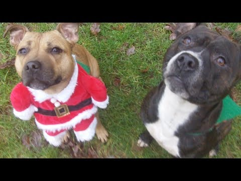 Enchanting Esme & Leo The Lion Staffordshire Bull Terriers.
