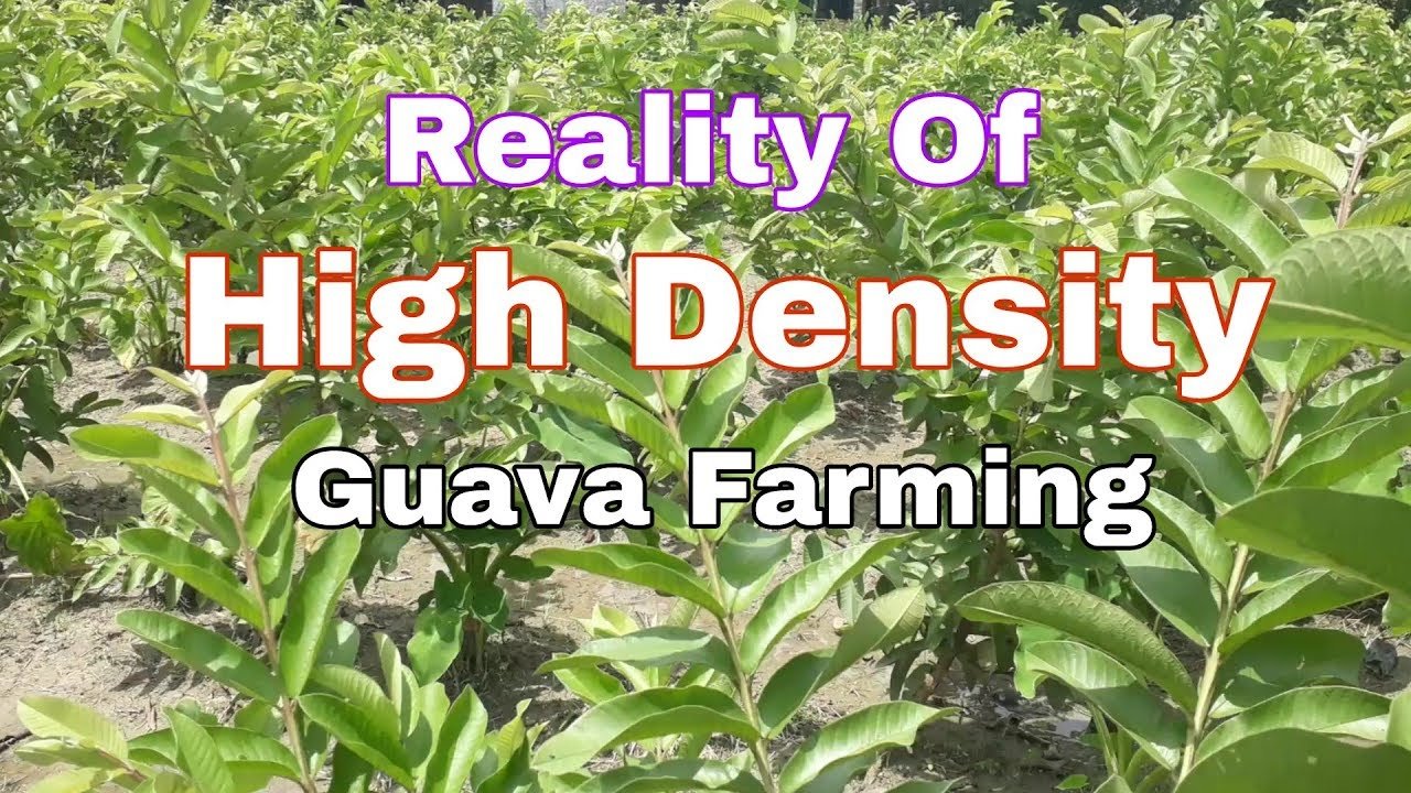 Reality Of High Density Planting in Guava Plant  More Information Please  Call Helpline No 8514981670