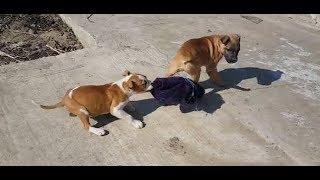 Бойцовый щенок Ам Стафф кусает руки и ребёнка, можно ли играть детям со щенком????