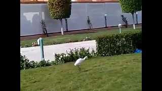 Египетская малая белая цапля