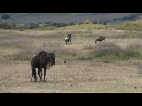 Ñus en el Ngorongoro