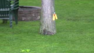 Squirrel Bungee
