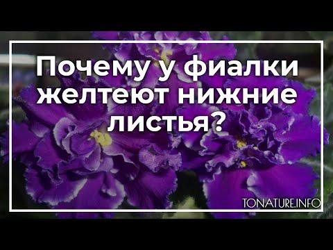 Почему у фиалки желтеют нижние листья? | toNature.Info