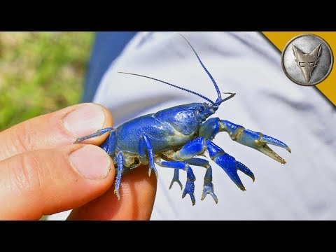 NEW SPECIES FOUND?! Rare Blue Crayfish!